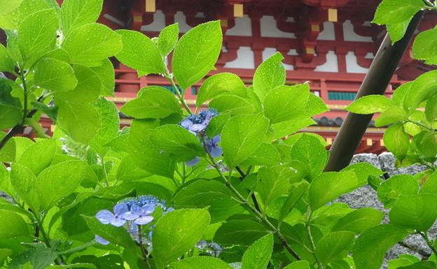 思い出の紫陽花