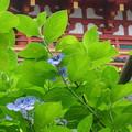 写真: 思い出の紫陽花
