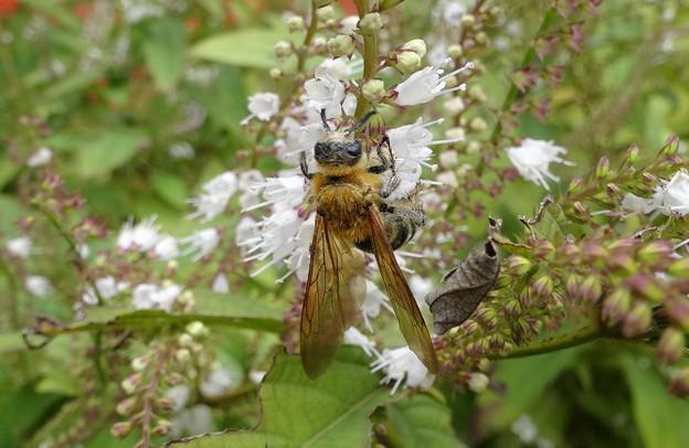 ミツバチ君が