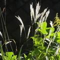 写真: 草むらの輝き