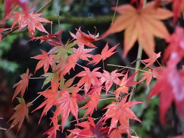 雨に潤う紅葉
