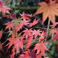写真: 雨に潤う紅葉