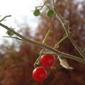 Photos: 未だに実るミニトマト