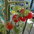Photos: 未だに実るミニトマト  2