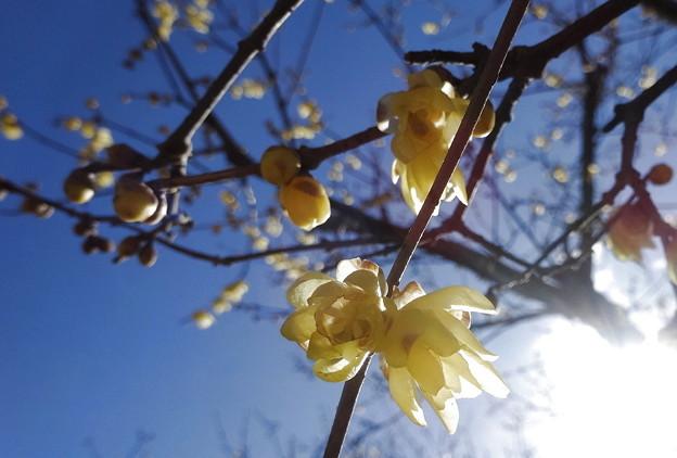 陽射しを浴びる蝋梅