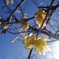 写真: 陽射しを浴びる蝋梅