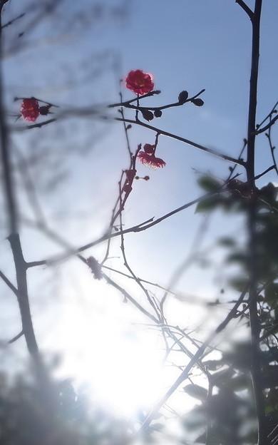 春の夢(梅)