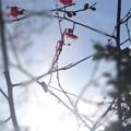 写真: 春の夢(梅)