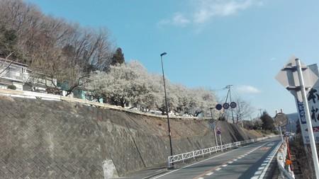 後ろを向くと桜