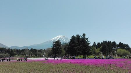 富士芝桜まつり1