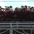TDK前のバラ