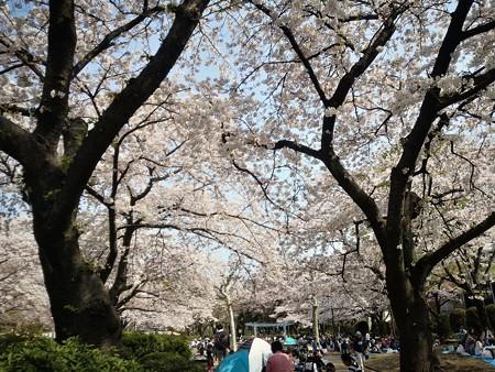 鹿沼公園 桜祭り