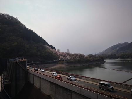 城山ダムの桜@津久井湖