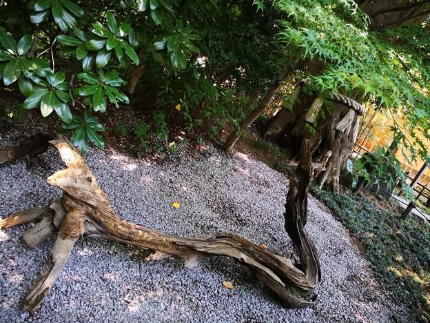 流木の龍 神木(樫の木と椿の木が絡む)