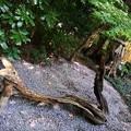 Photos: 流木の龍 神木(樫の木と椿の木が絡む)