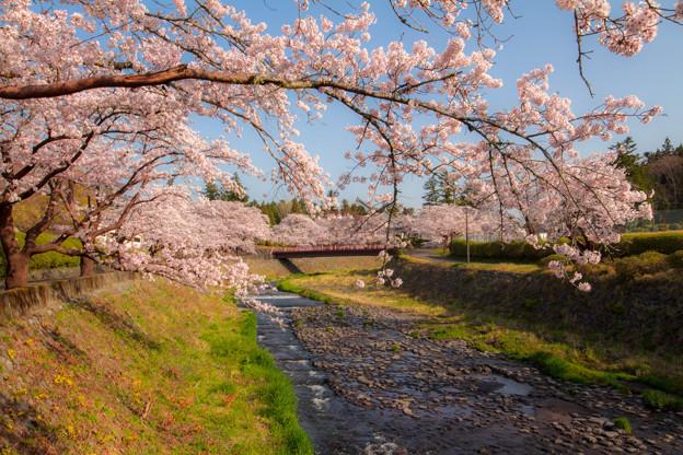 桜の架け橋