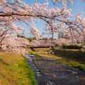 写真: 桜の架け橋