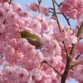 写真: お花の中のメジロ君