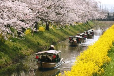 水郷めぐりの桜と菜の花