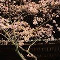 Photos: 塔と櫻