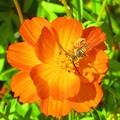 オレンジ色のコスモス(蜂2)