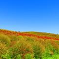 Photos: 青空とコキアの丘
