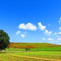 青空と雲とコキアの丘
