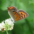 7月に出会ったシジミ蝶