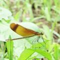 7月に出会った蜻蛉