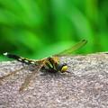 蜻蛉 黄色