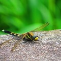Photos: 蜻蛉 黄色