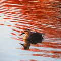 Photos: 水面に映る紅葉と鴨