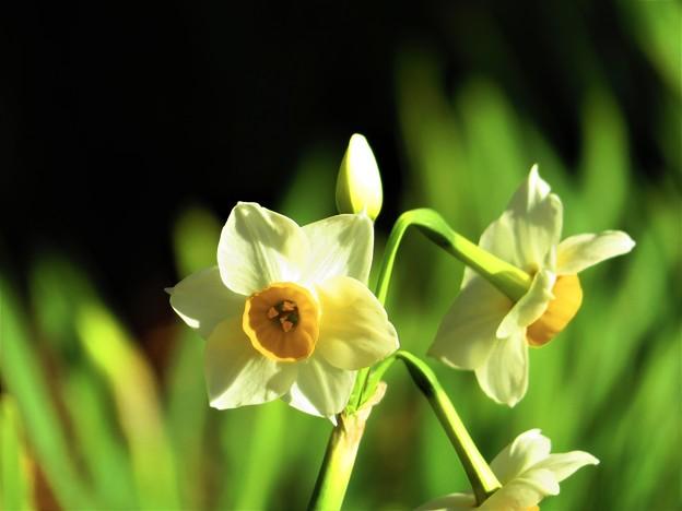 春よ来い 水仙