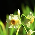 写真: 春よ来い 水仙