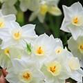 写真: 春の輝き 白