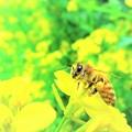 菜の花と蜜蜂1