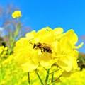 写真: 菜の花と蜜蜂2