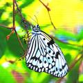 写真: 沖縄の蝶