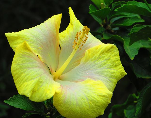 沖縄の花は輝いている