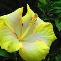 写真: 沖縄の花は輝いている