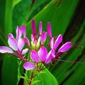 写真: 西洋風蝶草