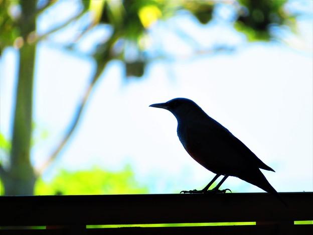 沖縄で出会った鳥
