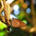 この蝶の名前教えてください(^^ゞ