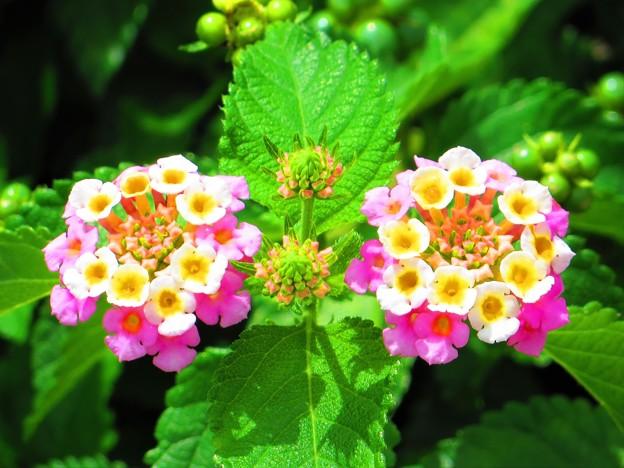 南の島の花1