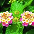 写真: 南の島の花1