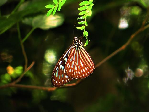南の島の蝶2