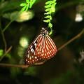 写真: 南の島の蝶2