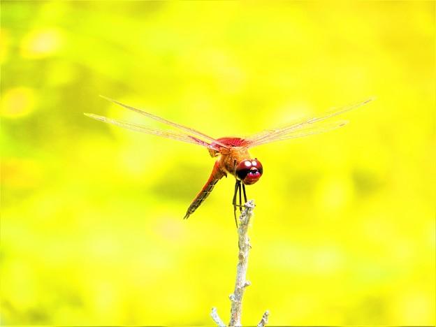 南海の島の蜻蛉2