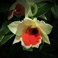 写真: 蘭の花は不思議2