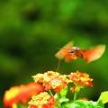 Photos: 南海の島の蝶々13
